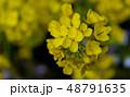 黄色い花 48791635