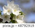 大島桜 桜 花の写真 48792919