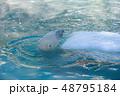シロクマ ホッキョクグマ 白熊の写真 48795184