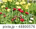 デージー 雛菊 延命菊の写真 48800576