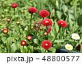 デージー 雛菊 延命菊の写真 48800577