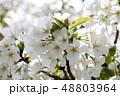 大島桜 桜 花の写真 48803964