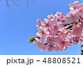 早春の河津桜と青空【福岡県】 48808521