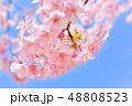 早春の河津桜と青空【福岡県】 48808523