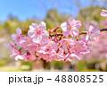早春の河津桜と青空【福岡県】 48808525