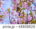 早春の河津桜とメジロ【福岡県】 48808626