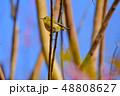 早春の河津桜とメジロ【福岡県】 48808627