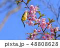 早春の河津桜とメジロ【福岡県】 48808628