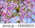 早春の河津桜とメジロ【福岡県】 48808629