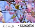 早春の河津桜とメジロ【福岡県】 48808630