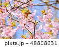 早春の河津桜とメジロ【福岡県】 48808631