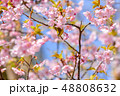 早春の河津桜とメジロ【福岡県】 48808632