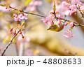 早春の河津桜とメジロ【福岡県】 48808633