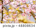 早春の河津桜とメジロ【福岡県】 48808634