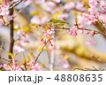 早春の河津桜とメジロ【福岡県】 48808635