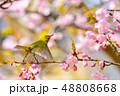 早春の河津桜とメジロ【福岡県】 48808668