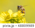 Honey bee on canola flower 48809989
