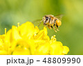 Honey bee hovering 48809990