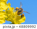 Honey bee on canola flower 48809992