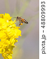 Honey bee hovering 48809993