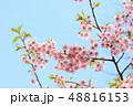 河津桜 春 桜の写真 48816153