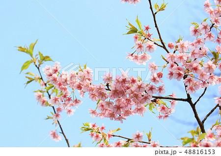 青空に映える河津桜  葉が出始めた河津桜 48816153