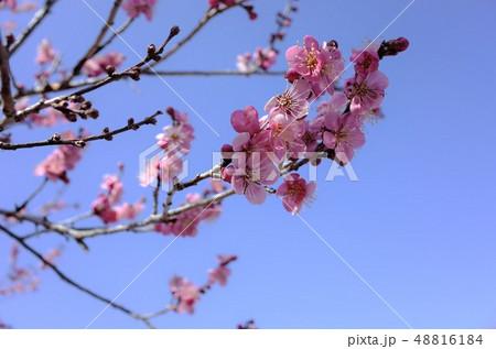 美しい春のピンク色の梅の花と青空、開花 48816184