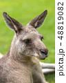 カンガルー 動物 有袋類の写真 48819082