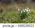 Small group blossom snowdrops 48820633