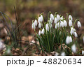 Snowdrops by early spring season 48820634