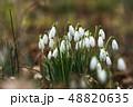 Blossom snowdrops closeup 48820635