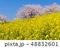 菜の花 桜 花の写真 48832601