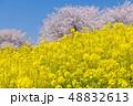 菜の花 桜 花の写真 48832613