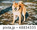 動物 わんこ 犬の写真 48834335