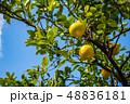 八朔 フルーツ 柑橘類の写真 48836181