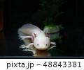 ウーパールーパー 48843381