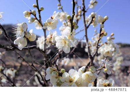 美しい春の白い梅の花と青空、開花 48847071