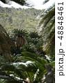 ソテツジャングル ソテツ 亜熱帯植物の写真 48848461