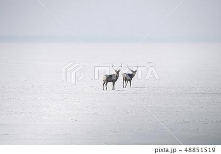 氷上のエゾシカ 48851519