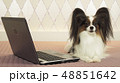 Papillon dog is lying near the laptop on bed 48851642