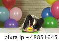 Fancy Dog Papillon eating birthday cake with candle 48851645