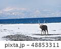 冬の海岸を歩くエゾシカ(北海道) 48853311
