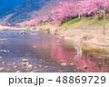 (静岡県)河津川沿いに咲く河津桜 48869729