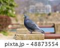 鳩 鳥 動物の写真 48873554