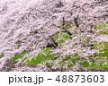 桜 花 春の写真 48873603