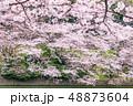 桜 千鳥ヶ淵 土手の写真 48873604