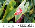 アンスリウム 観葉植物 48881681