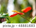 アンスリウム 観葉植物 48881683