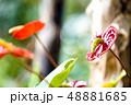 アンスリウム 観葉植物 48881685