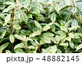 ピレア 観葉植物 48882145